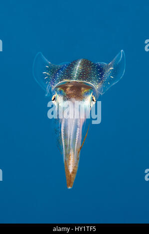 Caribbean Reef squid (Sepioteuthis sepioidea), Nordwand, Grand Cayman, Cayman Islands, West Indies, Karibik Stockfoto