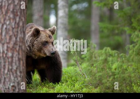 Europäischer Braunbär (Ursus Arctos) schleichen durch Wald, Finnland. - Stockfoto