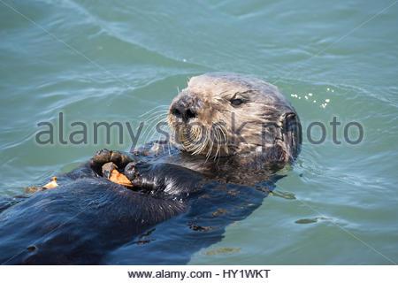 California Sea Otter, (Enhydra Lutris Nereis) Essen eine Muschel. Elkhorn Slough, Moss Landing, Kalifornien, Vereinigte - Stockfoto