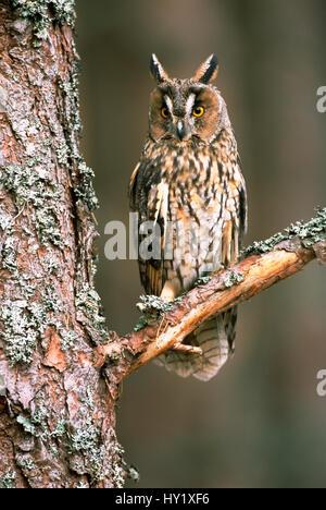 Lange eared Eule (Asio Otus) in Gefangenschaft, UK. - Stockfoto