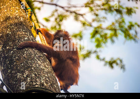 Borneo-Orang-Utan (Pongo Pygmaeus) klettert auf einen Baum, captive, Zoo Singapur, Singapur - Stockfoto