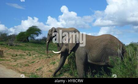 zwei Elefanten im südafrikanischen Busch - Stockfoto