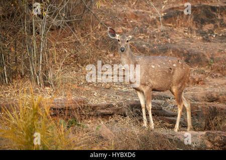 Hirsch mit schönen Hörner stehen auf der Wiese in der freien Wildbahn. Indien. Nationalpark. Eine ausgezeichnete - Stockfoto