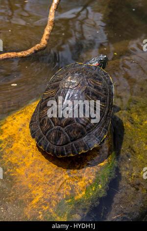 rot-eared Slider Schildkröte, Süßwasser Teich, Sonoma Square, Stadt von Sonoma, Sonoma, Sonoma County, California, - Stockfoto