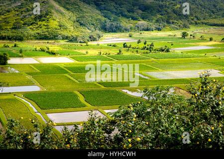 Detail der Landschaft der grünen Taro-Felder in Hanalei Valley, Kauai, USA - Stockfoto