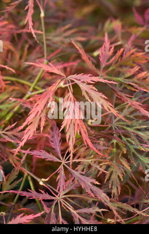 Acer Palmatum var. Dissectum ' Beni-Shidare Blätter im Herbst. - Stockfoto