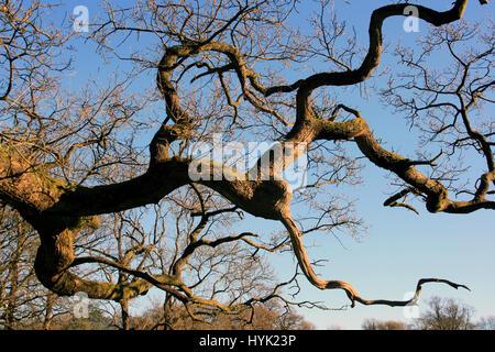Alte Eiche Baum verzweigt. Gedrehten Zweigen vor blauem Himmel. Stockfoto