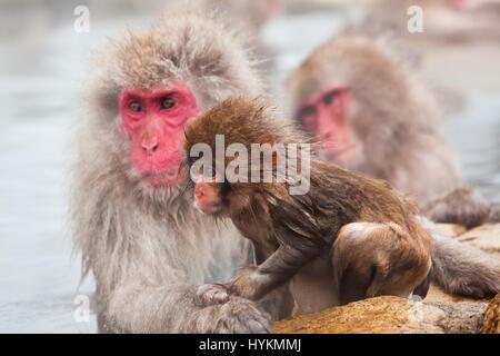 NAGANO, JAPAN: Diese Gruppe von 200 Affen und ihre Babys gefangen genommen von einem vorbeifahrenden britischen - Stockfoto