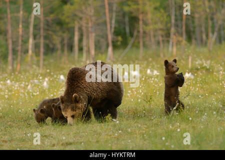 DIE lustige Moment, den ein Bärenjunges eine Auszeit von seinen üblichen Familie Possen nahm durchführen, was scheint, - Stockfoto