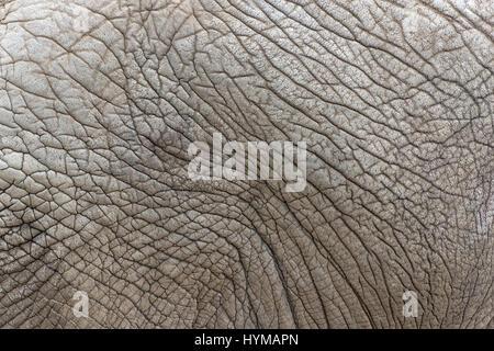 Schließen Sie die Ansicht des afrikanischen Elefanten Hautstruktur, Loxodonta Africana. - Stockfoto