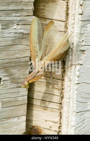 Weibliche Gottesanbeterin (Mantis Religiosa) auf Holz Lagerplatz in einem Obstgarten in der Nähe von Hood River, - Stockfoto