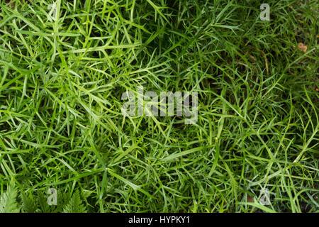 Argyranthemum Frutescens, Asteraceae, endemisch, Kanarische Inseln, Spanien - Stockfoto