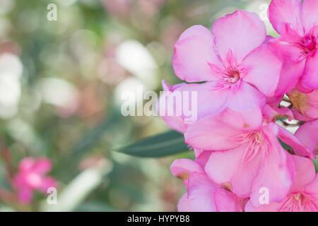 Nahaufnahme von rosa Blüten mit Weichzeichner. Nerium oleander - Stockfoto