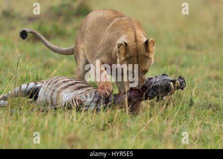 Eine Löwin zerrt ihre Beute nach Hause.  Eine hungrige Löwin vor der Kamera ziehen nach Hause ihr Zebra gefangen - Stockfoto