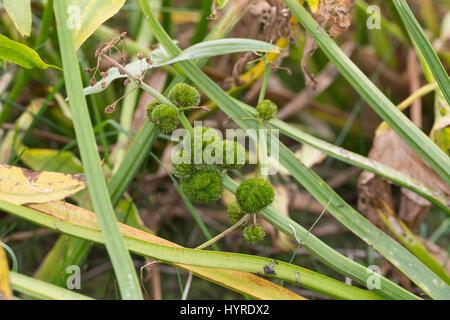 Pfeilkraut, Frucht, Früchte, Samenstand, Gewöhnliches Pfeil-Kraut, Sagittaria Sagittifolia, gemeinsame Pfeilspitze, - Stockfoto