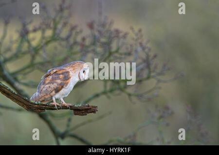 Schleiereule Tyto Alba weibliche Jagd vom Baum am Rand der Wiese North Norfolk - Stockfoto