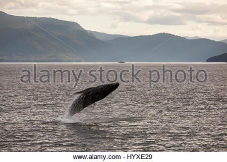 Zwischen Bergen und üppigen Hügeln verletzt ein Buckelwal, Impressionen Novaeangliae, das Wasser. - Stockfoto