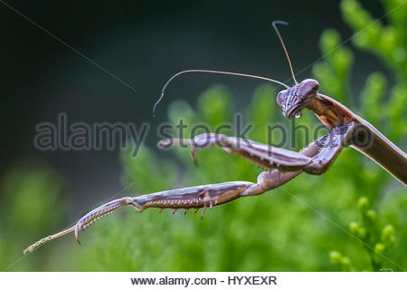 Eine Gottesanbeterin Mantis Religiosa, Jagd, in einem immergrünen Strauch. - Stockfoto