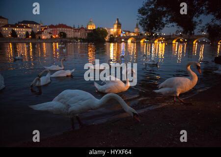 Schwäne versammeln sich auf der Moldau-Ufer in der Nähe der Karlsbrücke in Prag. - Stockfoto