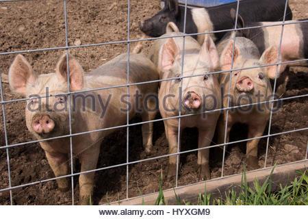 Wunderbar Schwein Drahtzaun Bilder - Der Schaltplan - greigo.com