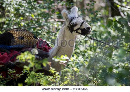 Eine Lama geladen mit einer Packung eine Lama-Wanderung am Flathead Lake geführt. - Stockfoto