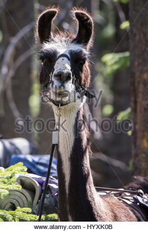 Porträt von einem Lama als Rudeltier auf Lama-trekking-Touren am Flathead Lake verwendet. - Stockfoto