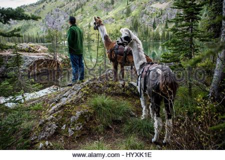 Eine Person führt zwei Lamas auf einem Lama-trekking-Abenteuer. - Stockfoto