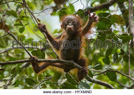 Eine junge männliche Bornean Orangutan, Pongo Pygmaeus Wurmbii, im Gunung Palung Nationalpark. - Stockfoto