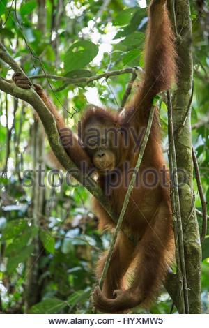 Eine Jugendliche männliche Bornean Orangutan in Gunung Palung Nationalpark. - Stockfoto