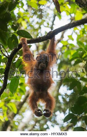 Eine juvenile männliche Bornean Orangutan, Pongo Pygmaeus Wurmbii, hängt an einem Ast im Gunung Palung Nationalpark. - Stockfoto