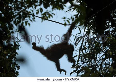 Ein Bornean Orangutan, Pongo Pygmaeus Wurmbii, juvenile männliche Schaukeln durch die Bäume. - Stockfoto