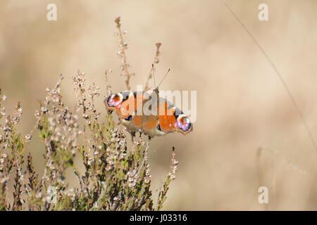 Tagpfauenauge (Aglais Io) auf heather - Stockfoto