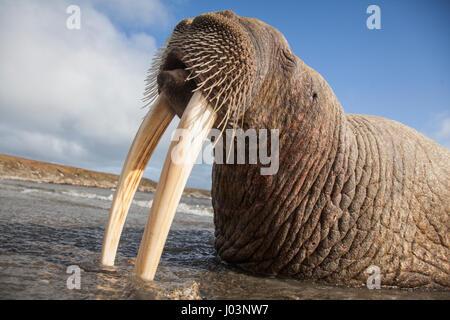 CHUKOTKA, Russland: Lustige Bilder und Videomaterial ergaben eine große Herde von faul Walrosse eine wohlverdiente - Stockfoto