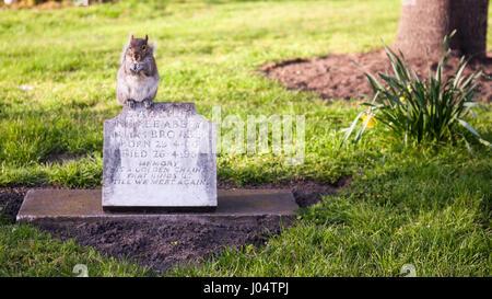 London, England - 11. April 2010: Ein graues Eichhörnchen Essen während thront auf einem kleinen Grabstein in St - Stockfoto