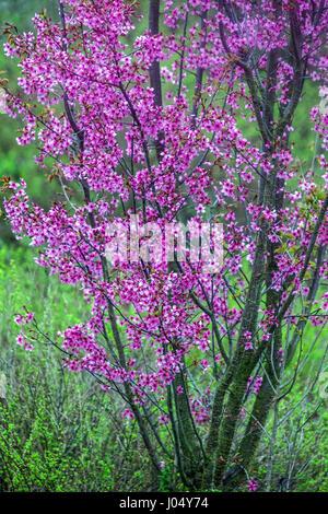"Blühender Kirschbaum Prunus Serrulata ""Collingwood Ingram"" - Stockfoto"