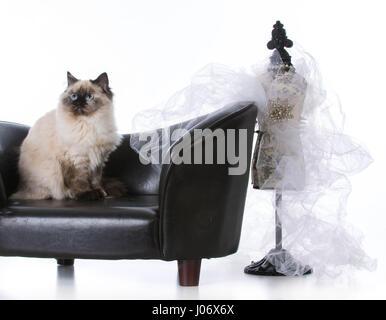 Ragdoll Katze auf Couch regal suchen - Stockfoto