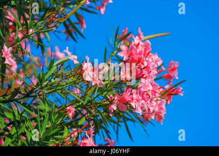 Schöne rosa Nerium Oleander Blüten gegen blauen Himmel auf strahlenden Sommertag - Stockfoto