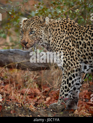 Leopard (Panthera Pardus) mit Cape Stachelschweinborsten stecken drin, Krüger-Nationalpark - Stockfoto