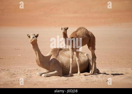 Kamel Familie