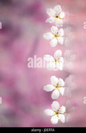 Linie des weißen Kirschblüten - Stockfoto