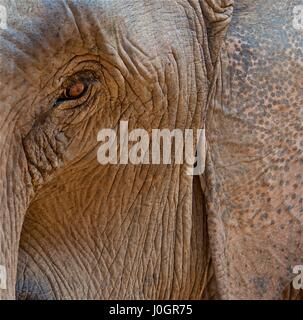 Elefant-Gesicht mit Auge umgeben von Falten - Stockfoto