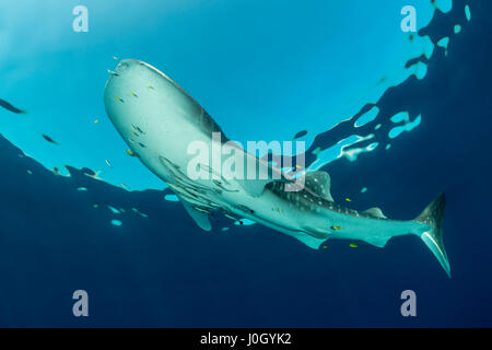 Walhai, Rhincodon Typus, Cenderawasih-Bucht, West Papua, Indonesien - Stockfoto