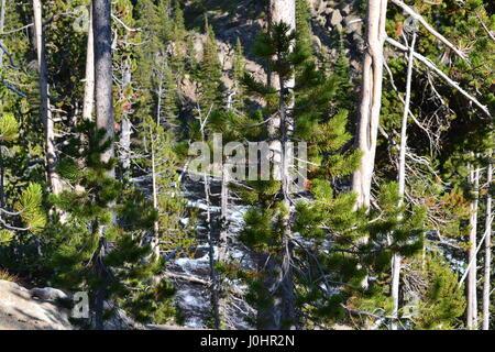 Lodge Pole Kiefer Wald nachwachsen in Yellowstone - Stockfoto