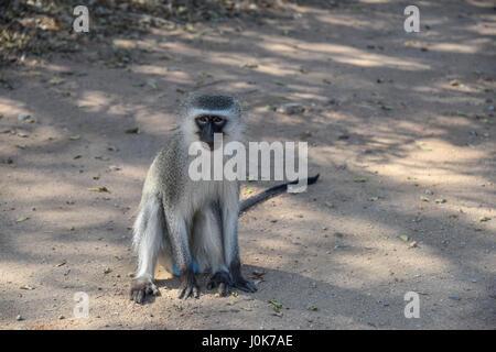 Vervet Affen, Chlorocebus Pygerythrus, sitzen auf dem Boden, Krüger Nationalpark, Südafrika - Stockfoto