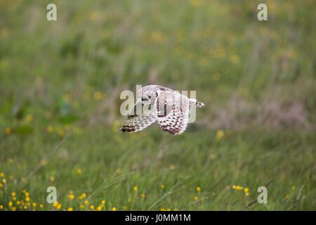 Kurze Eared Eule; ASIO Flammeus Single Flug Orkney; Schottland; UK - Stockfoto