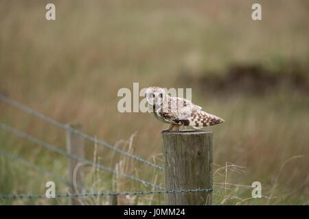 Kurze Eared Eule; ASIO Flammeus auf Post Orkney Single; Schottland; UK - Stockfoto