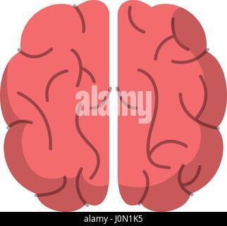 Gehirn Orgel menschliche Funktion Bild - Stockfoto