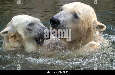 München, Deutschland. 8. Februar 2016. (DATEI) · Eine Archiv Bild, datiert 08.02.2016 zeigt der Eisbär Paar, Yoghi - Stockfoto