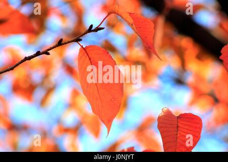 Herbstlaub-Tokyo-Japan - Stockfoto