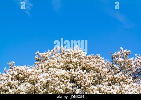 Spitze der blühenden Elsbeere oder Amelanchier Lamarkii Baum mit ...